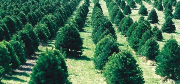The Various Types of Christmas Trees