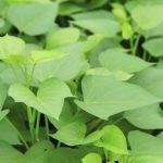 How To Grow Sweet Potato Vines