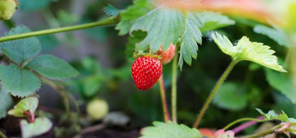 6 Awesome Reasons Why You Should Grow Your Own Strawberry Plants