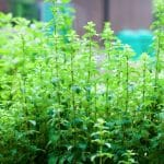 4 Healthy Benefits Of Oregano Oil